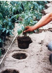 植えるとき